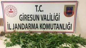 Giresun'da Kenevir Operasyonu 1 Gözaltı